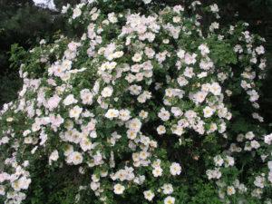 Роза канадская александр маккензи