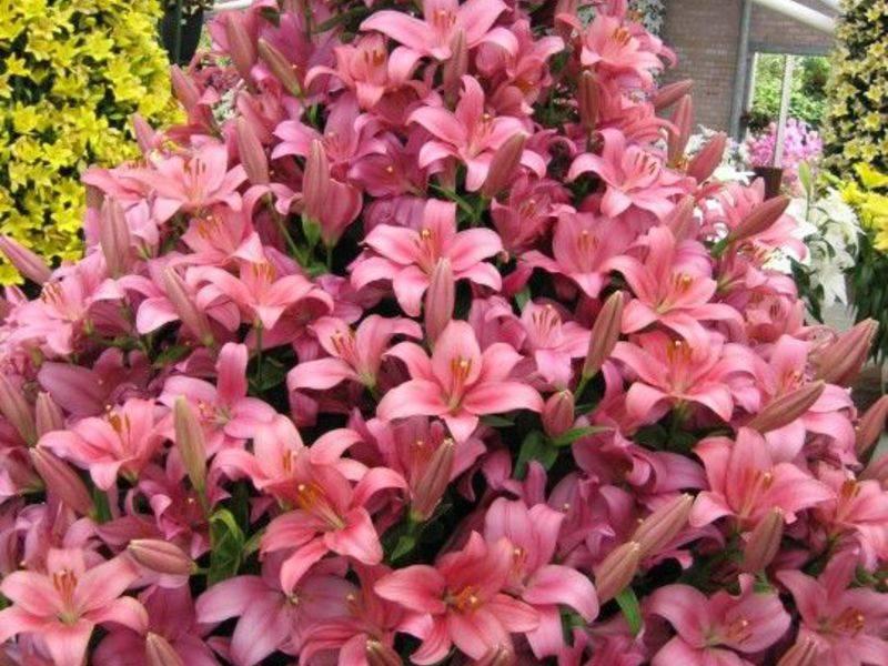 Какие сорта лилий самые красивые и большие