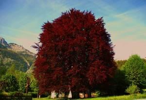 Дерево с розовыми листьями