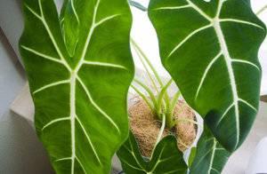 Описание растение Алоказия