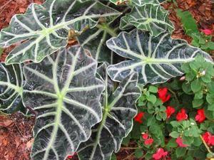 Арма – это тропическое растение из семейства ароидных