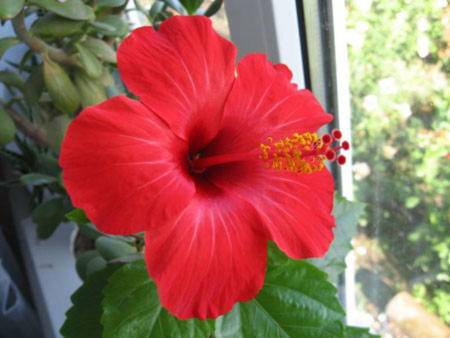 Гибискус комнатное растение