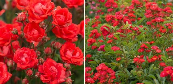 Как называются маленькие розы