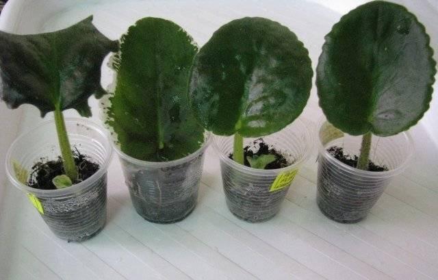 Размножение фиалок в комнатных условиях листом или цветоносами