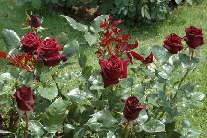 Цветы баккара