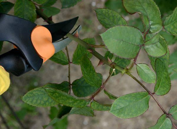 Черная пятнистость на розах лечение