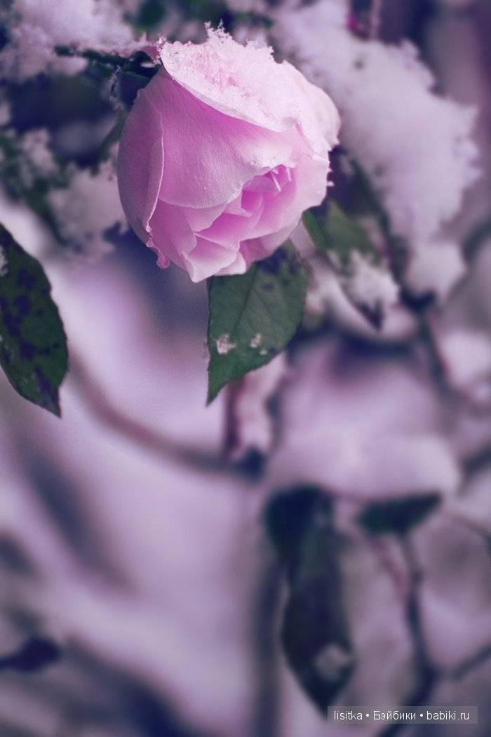 Цвет увядшей розы