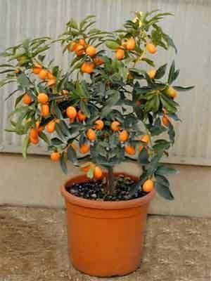 Мандарин дерево