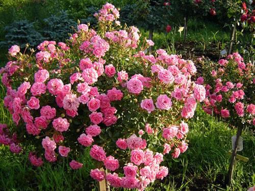 Мини розы в саду