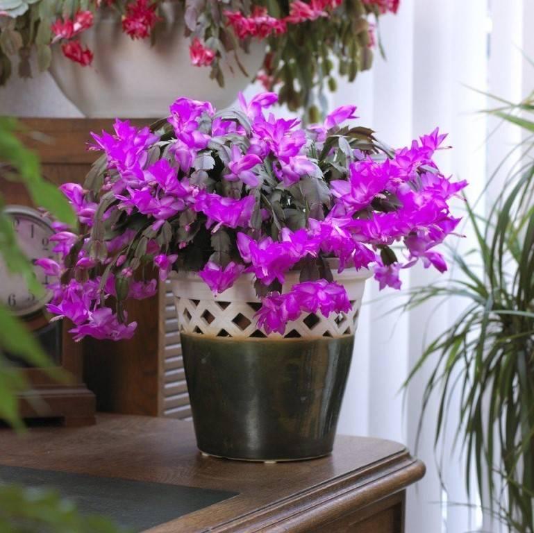 Как рассадить декабрист в домашних условиях