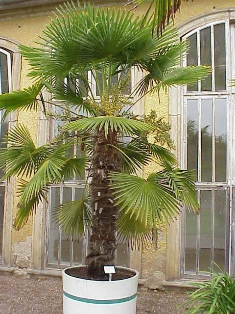 Пальма уход