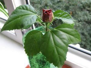 Комнатная китайская роза