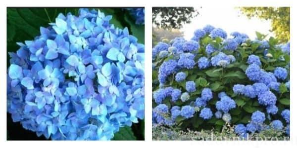 Гортензии виды и сорта для российских садов