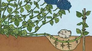 Размножение древовидной гортензии черенками