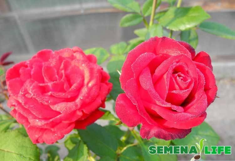 Rose gift что это за семена