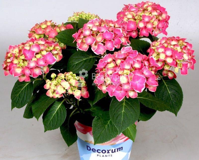 Комнатные растения гортензия