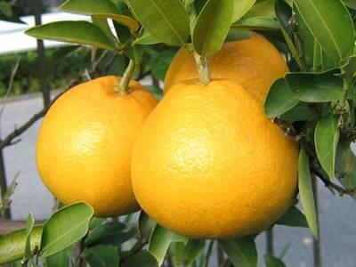 Цитрусовые фрукты список названий