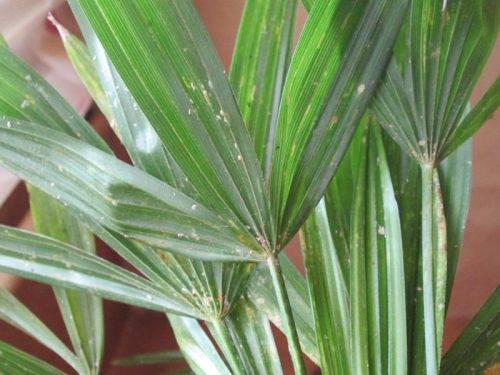 Почему у пальмы желтеют листья