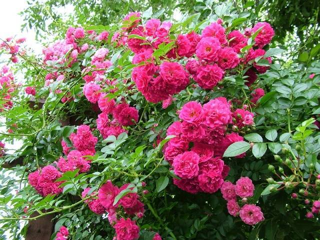 Цветы похожие на кустовые розы