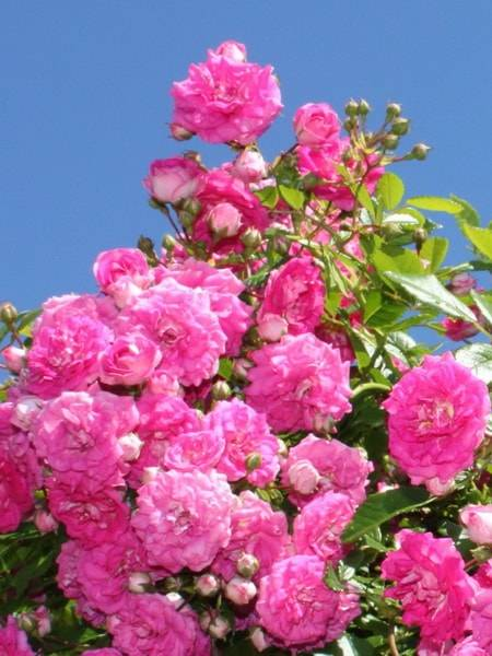 Роза амбер виэл