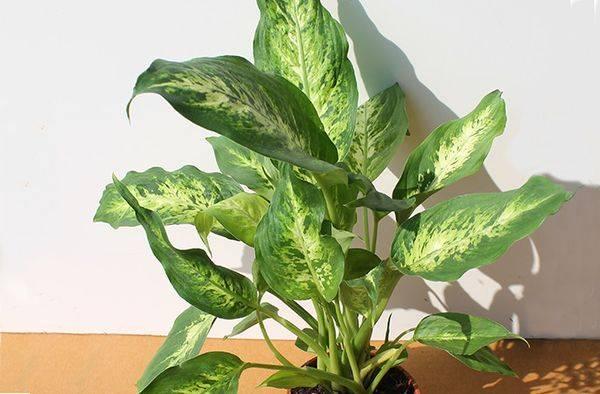 Теневые комнатные растения