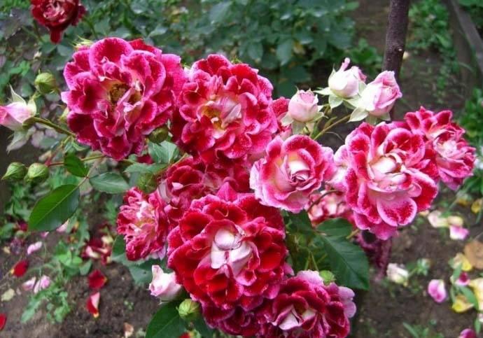 Роза румба флорибунда
