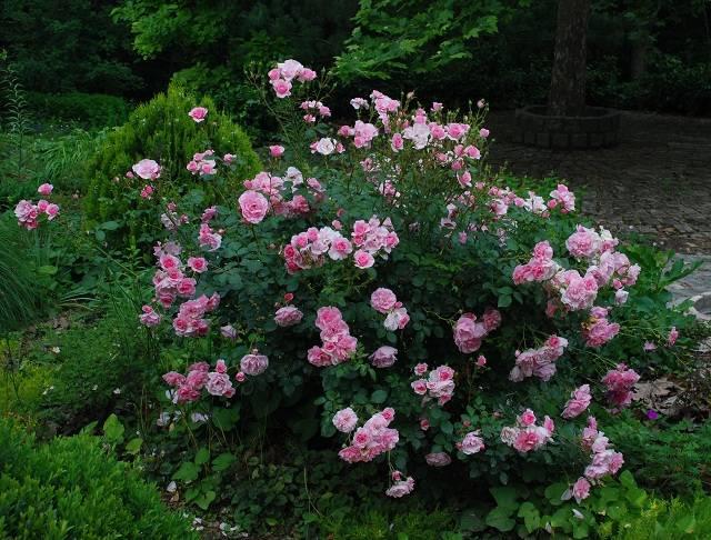 Роза мартин фробишер