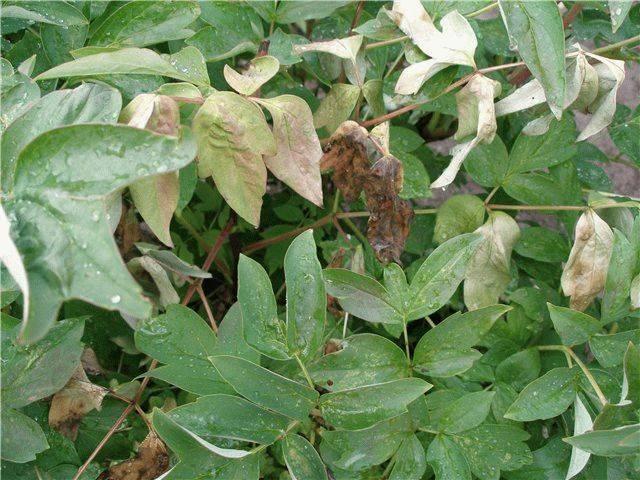 Древовидный пион уход и выращивание