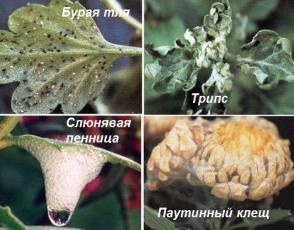 Хризантема комнатная уход в домашних