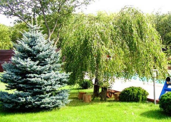 Елочка садовая
