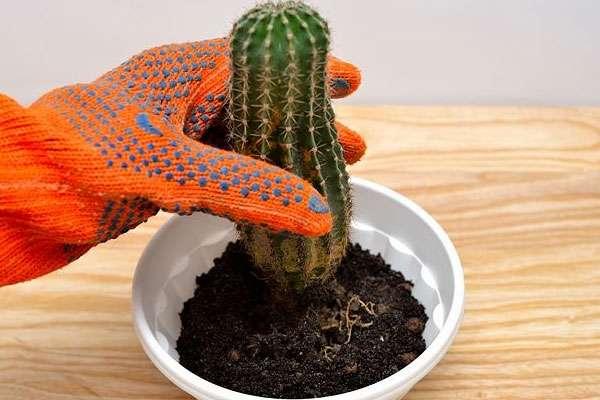 Уход за кактусами в домашних условиях