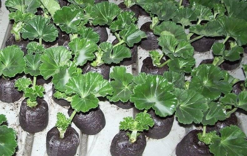 Пеларгония выращивание из семян