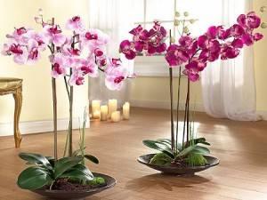 Уход за фаленопсисом после цветения