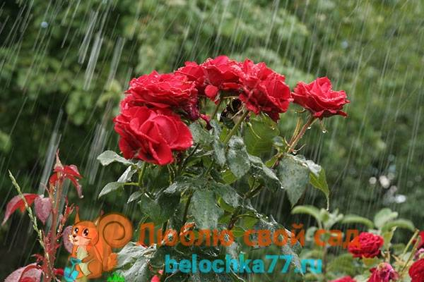 Как привить розу к шиповнику пошаговая инструкция