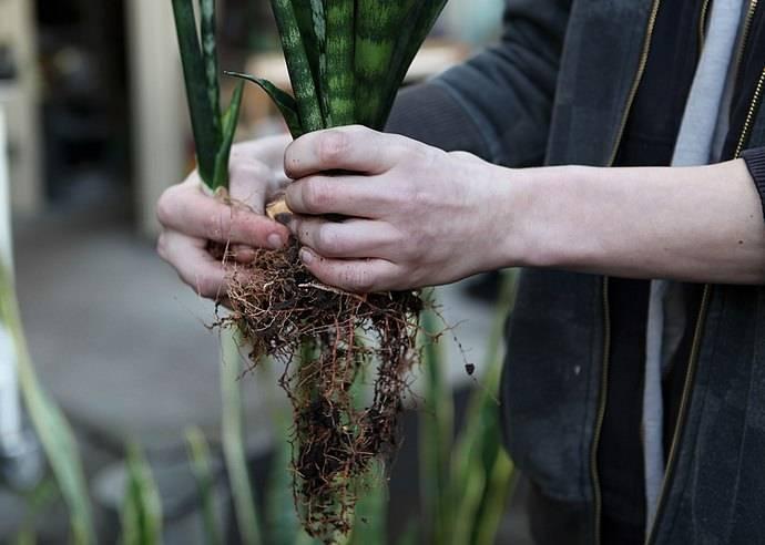 Тещин язык растение