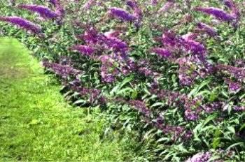 выращивание будлеи в сибири