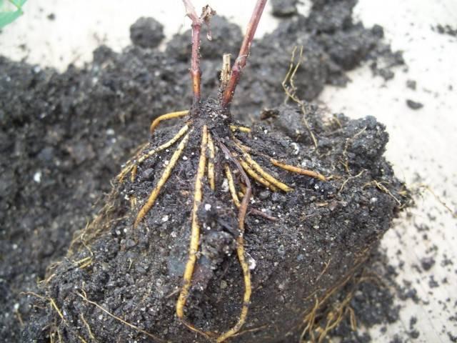 Как вырастить клематис из черенка