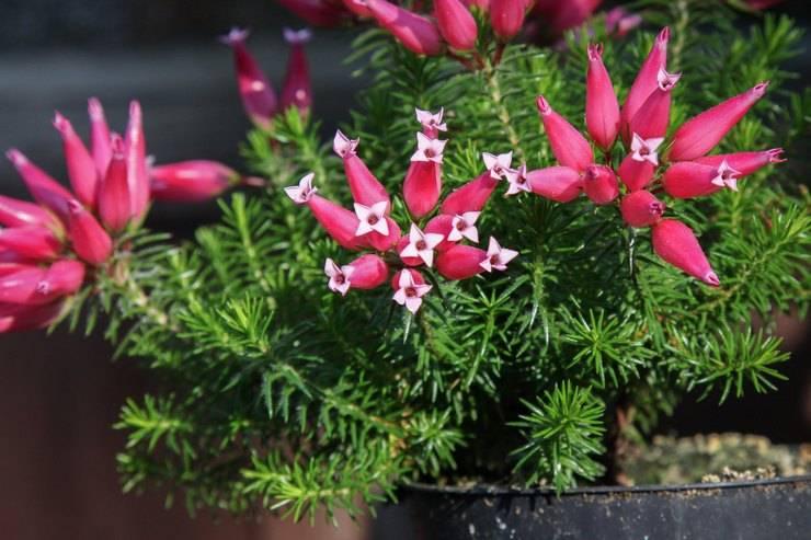 Цветы эрика