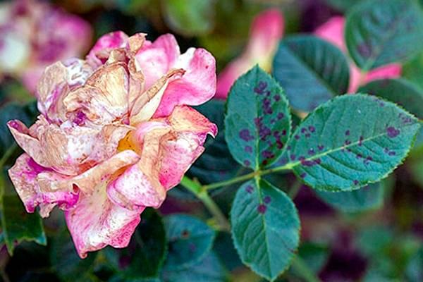 Роза ветвистая