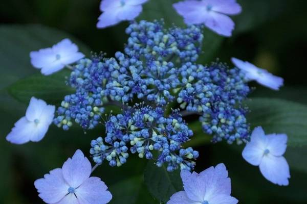 Достоинства сорта: зимостойкость, шикарный внешний вид и необычный оттенок соцветий