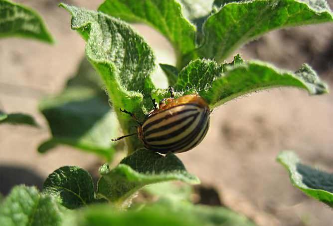 Уже через 6 часов после проведённой обработки Фитовермом колорадский жук прекращает поражать растения, а спустя 3 дня популяция погибае