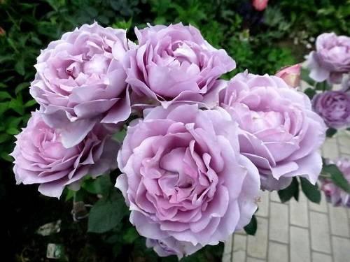 Лилово розовый