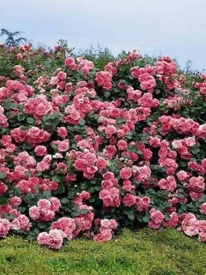 Цвети рози
