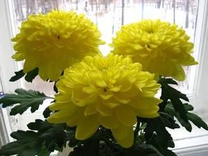 Хризантемы желтые