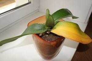 От чего желтеют листья у орхидеи
