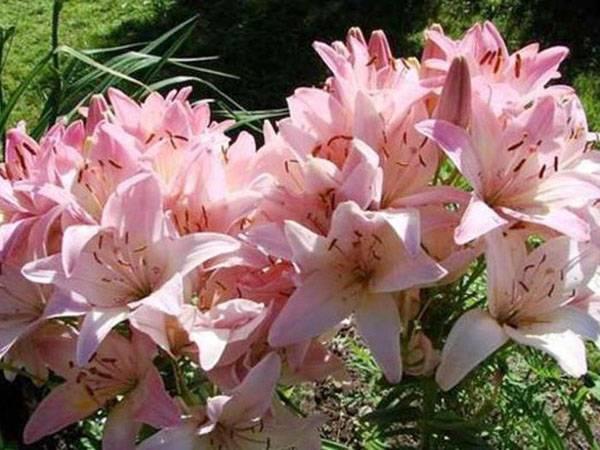 Лилии многолетние