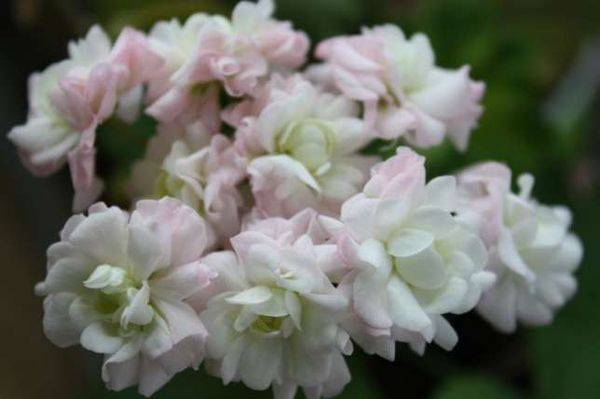 Пеларгония vit rosen