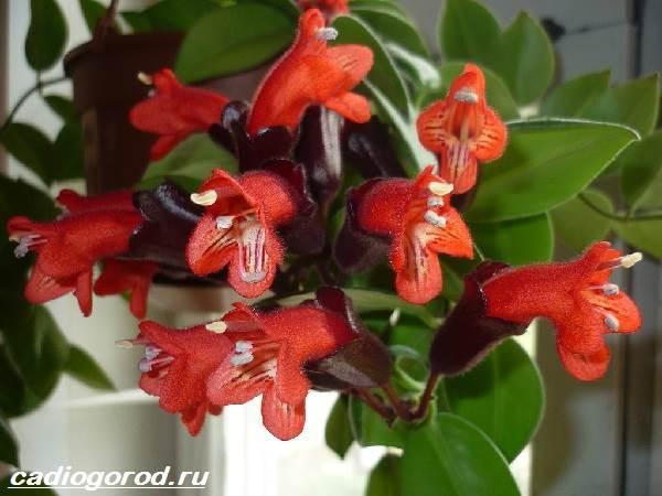 Ахинея цветок