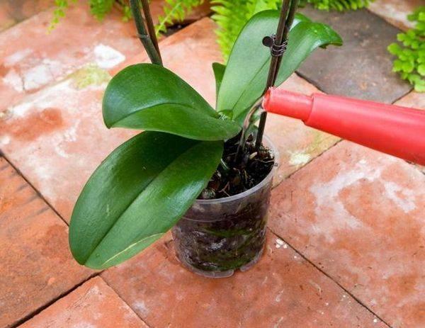 Пожелтел цветонос у орхидеи