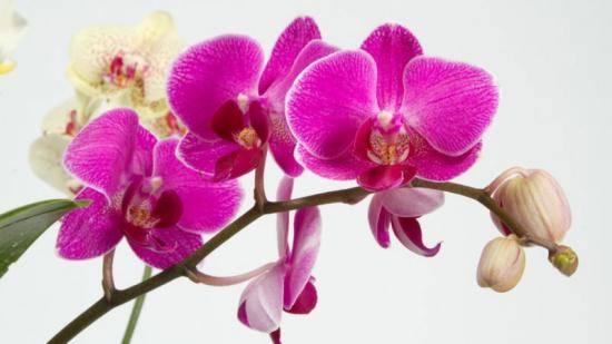 Как удобрять орхидею фаленопсис